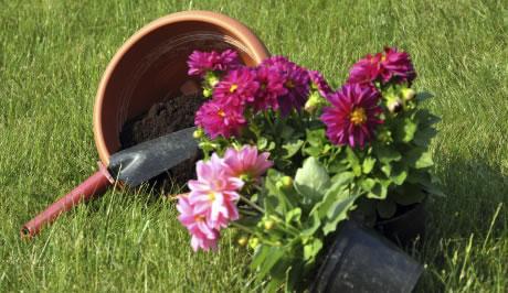 Jak pěstovat jiřiny