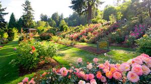 Pěstujte růže všech barev!