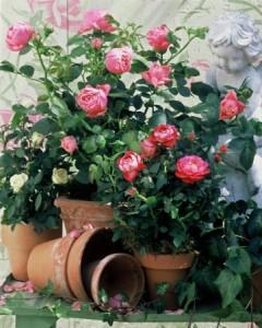 Růže vyžadují pravidelnou vláhu