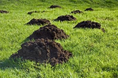 Výsledek obrázku pro krtkové na zahradě