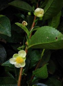 Čajovník je poměrně pěkná rostlinka, ze které budete mít radost /