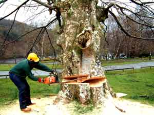 Kácení stromů vyžaduje odbornost /