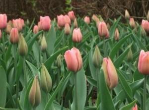 Kvetoucí tulipány jsou nádhernou dekorací i radostí /