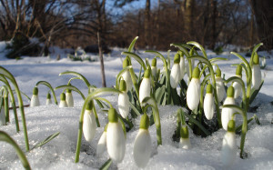 18604-desktop-wallpapers-snowdrops