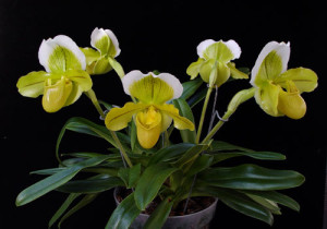 paphiopedilum_orchid_plant