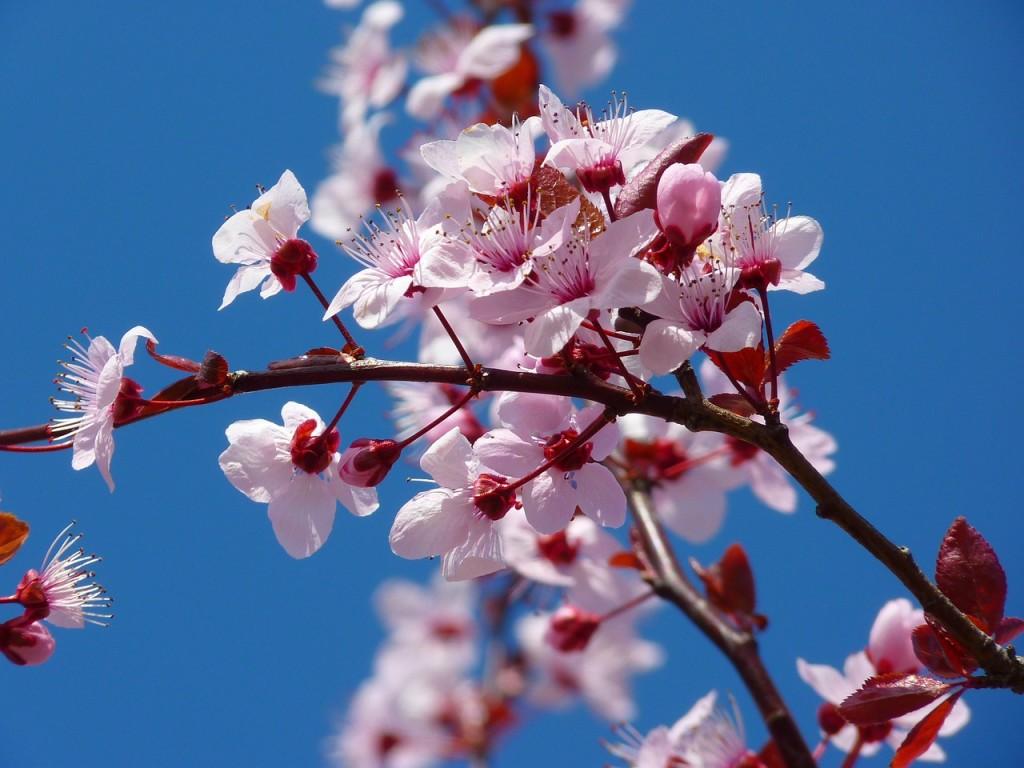 almond-blossom-5378_1280