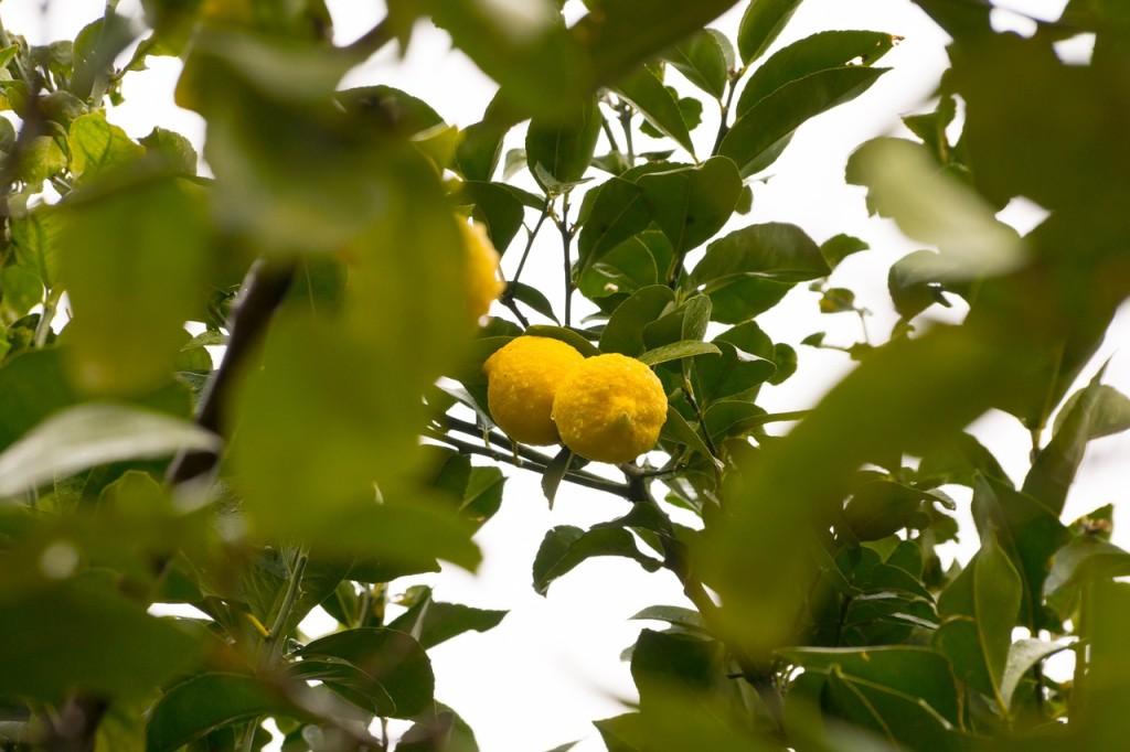 lemon-366789_1280