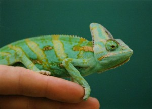 chameleon_breeding_agribusiness