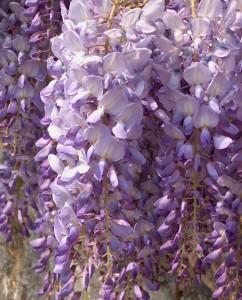 69262-wisteria-sinensis