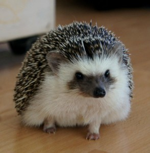 bailey_the_african_pigmy_hedgehog_by_babyberry15-d4qxn31