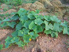 cucumberplant1