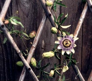 passionflower_apr