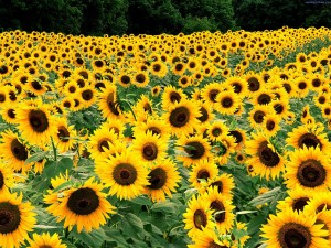 slunečnice2